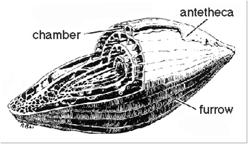 A diagram of fusulinid morphology