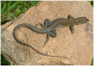 Whiptail.PNG