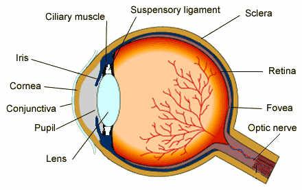 Anatomysense organs science olympiad student center wiki diagram of the eye ccuart Choice Image