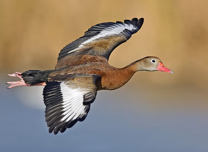 Whistling duck in flight.jpeg
