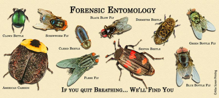 an overview of entomology and entomologists Forensic entomology concerns the application of this study to criminal or legal matters forensic entomologists study the insects found on or near remains to determine the relative time of death, if the body has been moved to a second site after death or if it has otherwise been disturbed, and to identify the presence and identity of certain.