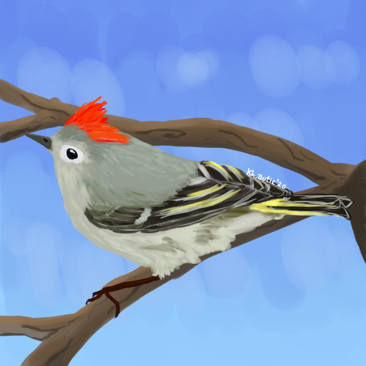 Ruby crowned kinglet (3).png