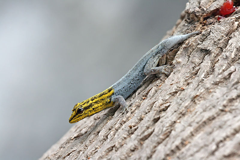 Dwarf yellow-headed gecko.png