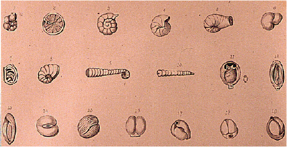 An illustration of various forams