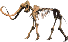 Mammuthus.png