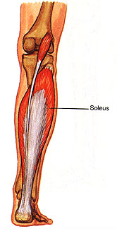 Anatomy/Muscle List - Science Olympiad Student Center Wiki