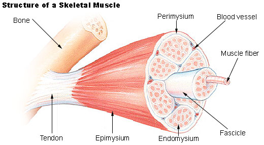 anatomy/muscular system - science olympiad student center wiki,