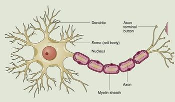 Anatomynervous system science olympiad student center wiki a simple diagram of a neuron ccuart Choice Image