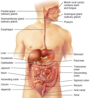 Anatomy/Digestive System - Science Olympiad Student Center Wiki