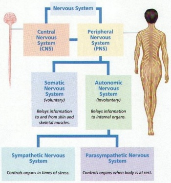 Anatomynervous system science olympiad student center wiki a diagram of the breakdown of the peripheral nervous system ccuart Images