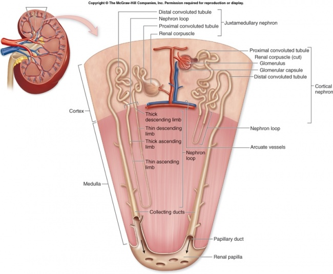 Anatomyexcretory system science olympiad student center wiki f27 5 nephron structure cg ccuart Choice Image