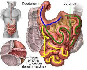 Anatomydigestive system science olympiad student center wiki diagram of the small intestine ccuart Image collections